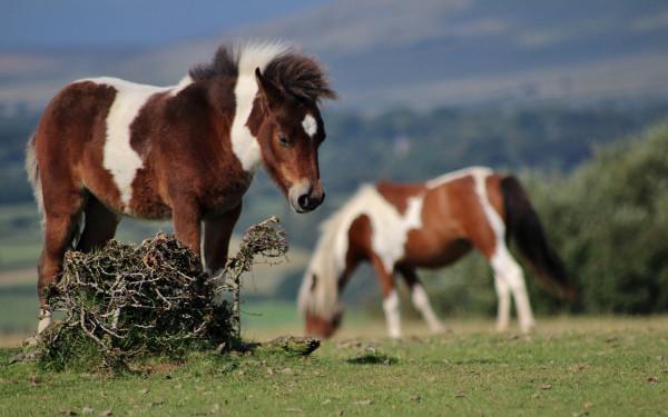Dartmoor Wild Ponies