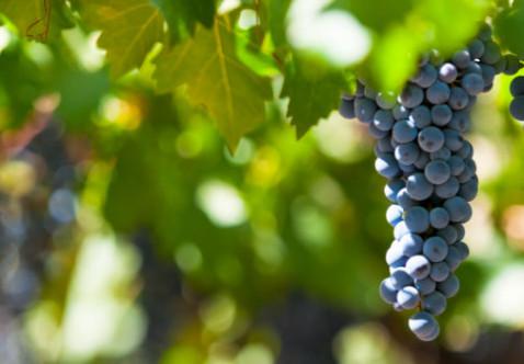 Waipara Valley vines